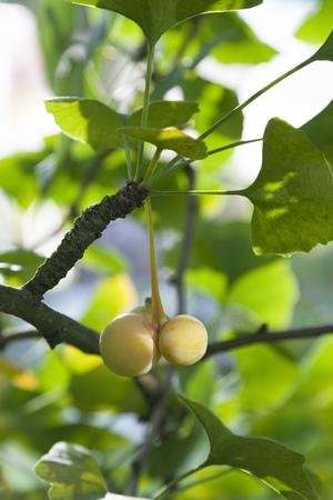 Ripe Ginkgo biloba fruit on the tree in autumn
