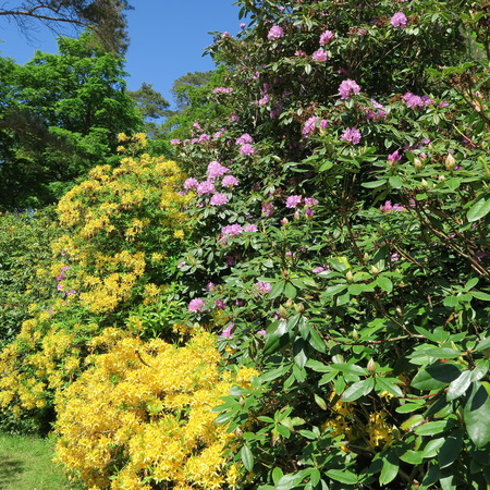 many colorful flowers bloom in May from rhododendron