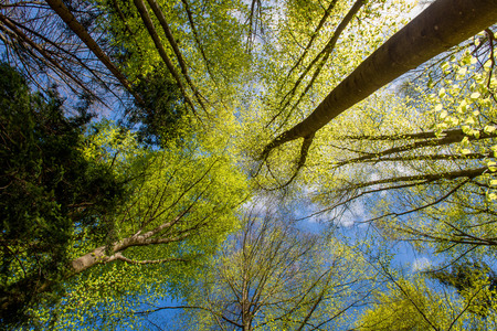 Photo pour tree trunks in the woods vines from below - image libre de droit