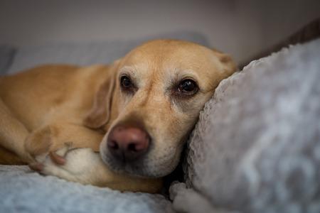 Labrador dog in Milan