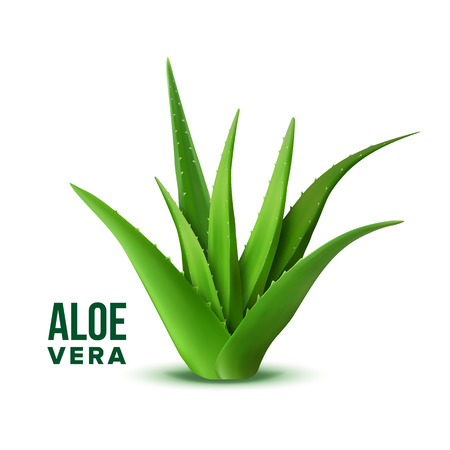 Illustration pour Natural Vitamin Healthy Plant Aloe Vera Vector. Realistic Medicine Botanic Herbal Green Plant With Thorn Leaves For Skincare Dermatology Cosmetic, Lotion Or Gel And Mask Ingredient. 3d Illustration - image libre de droit