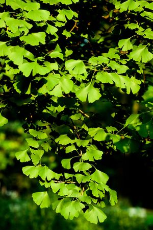 Being a living fossil Ginkgo is a unique species of tree, a seed fern, cultivated for its pollution, disease and insect tolerance even in urban conditions. Its seeds can be eaten and its extract is believed to improve brain, memory and nerve function in h