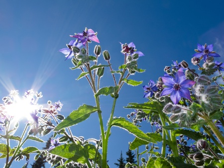 Starflower (Borago officinalis) growing under sunny blue summer sky.
