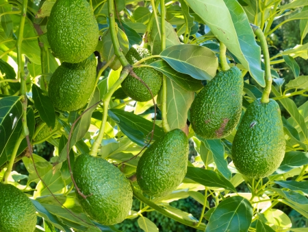Foto für Closeup of cultivated ripe avocado fruits, Persea americana, hanging heavily from tree ready to be harvested as an agricultural crop - Lizenzfreies Bild