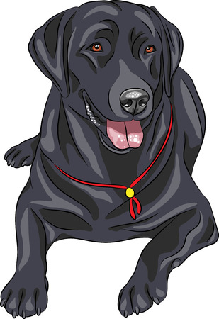 smiling black gun dog breed Labrador Retriever lying