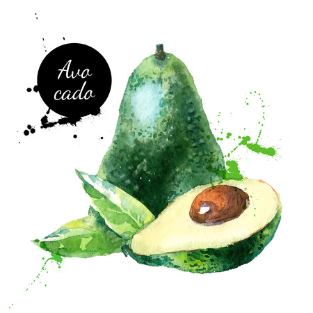 Hand drawn watercolor painting on white background. Vector illustration of fruit avocado