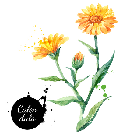 Ilustración de Hand drawn watercolor calendula flower illustration. Vector painted sketch botanical herbs isolated on white background  - Imagen libre de derechos