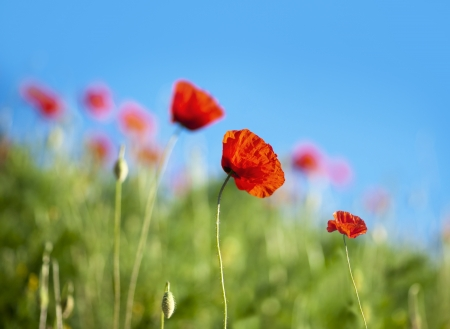 Photo for Red wild poppies on bright blue sky - Royalty Free Image