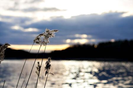 Reeds by beautiful Swedish lake at sunset