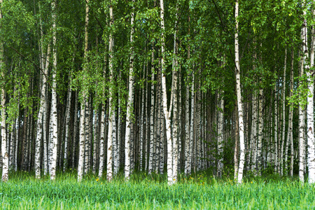 Photo pour Beautiful Swedish summer landscape with grove of birch trees with white and black trunks and deep green leaves - image libre de droit
