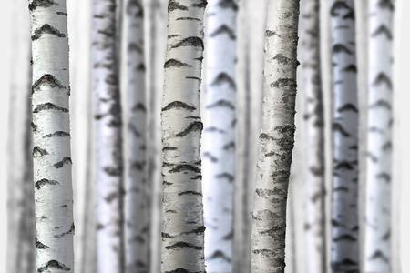 Birch Tree Trunks