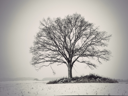 Photo for silhouette of bare oak tree in gloomy winter landscape - Royalty Free Image