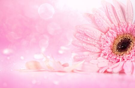 Photo pour sweet pink Gerbera flower with water droplet, romantic and fresh moment, softness and selective focus - image libre de droit