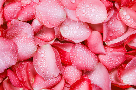 Photo for the fresh red rose petal background with water rain drop - Royalty Free Image