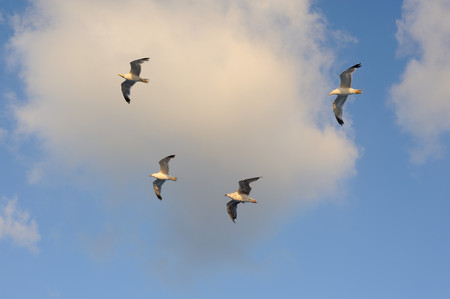 Seagulls flying against blue sky and white clouds in summer