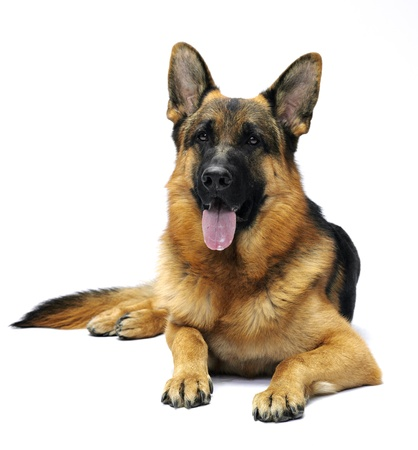 German shepherd lying in studio on white background