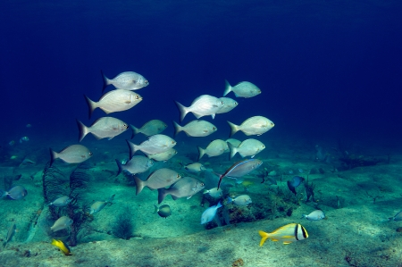 Photo pour A small school of Bermuda Chub swimming over a hard bottom. - image libre de droit