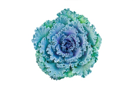 Close-up of ornamental cabbage flower isolated on white