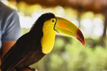 Foto de Close-up portrait of a toucan #3 - Imagen libre de derechos