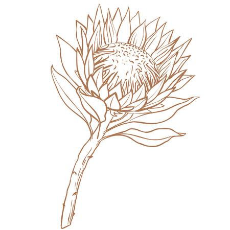 Ilustración de Protea flower. Line drawing on white background. - Imagen libre de derechos