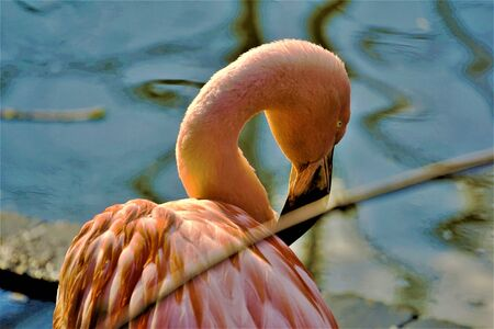 Photo for a pink chile flamingo bending it's neck in the zoo - Royalty Free Image