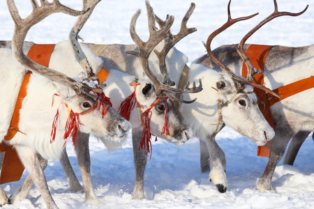 White reindeers in a team