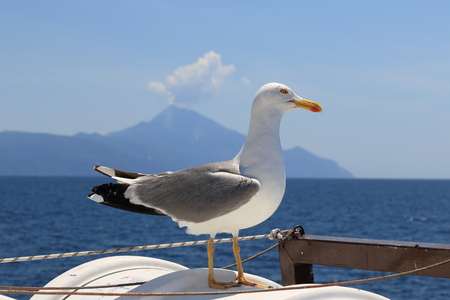 Photo for Larus michahellis. Mediterranean Seagull on the background of St. Athos - Royalty Free Image