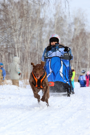 Photo for Novosibirsk, RUSSIA-FEBRUARY 23, 2019: the Girl in the sleigh and the dog is a Norwegian breed during the festival in Siberia - Royalty Free Image
