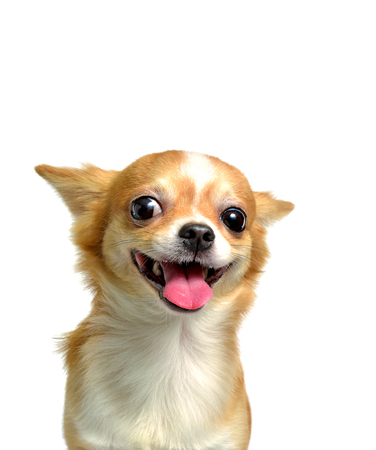 Photo pour Chihuahua dog, a brown male, smiling on a white background - image libre de droit