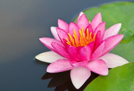 Foto de Pink lotus blossoms or water lily flowers blooming on pond in the garden - Imagen libre de derechos