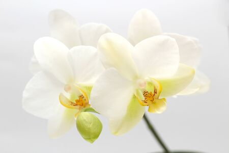 Photo pour White-yellow orchid flowers isolated on white background. Perfect blank for a holiday card - image libre de droit