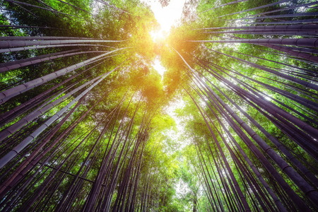 Photo for Arashiyama Bamboo Forest famous place in Kyoto Japan. - The Arashiyama Bamboo Grove is one of Kyoto's top sightseeing for tourist travel to Kyoto and Kansai, Japan. - Royalty Free Image