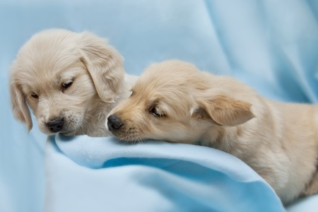 Two small puppyl - golden retriver