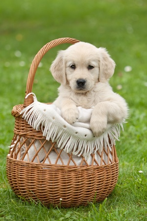 Photo pour Golden Retriever puppy in a wicker basket - image libre de droit
