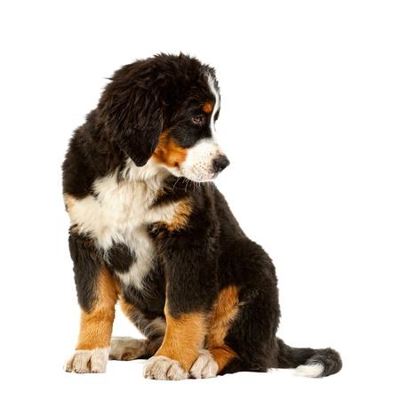 Puppy Bernese Mountain Dog 4 Months Berner Sennenhund