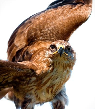 Portrait of hawk on white background