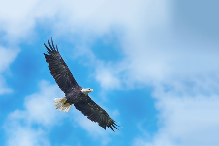 Foto de American bald eagle circling in the air - Imagen libre de derechos