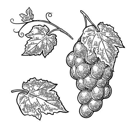 Ilustración de Bunch of grapes with berry and leaves. Vintage engraving vector - Imagen libre de derechos
