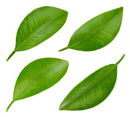 Photo pour Leaf citrus isolated on a white background. Leaf collection. Leaves macro photo - image libre de droit