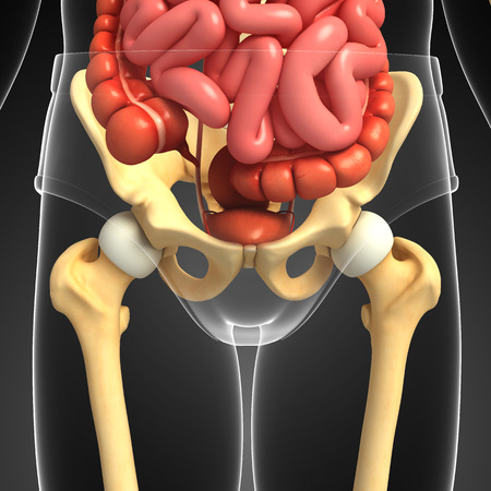 Illustration of pelvic girdle artwork
