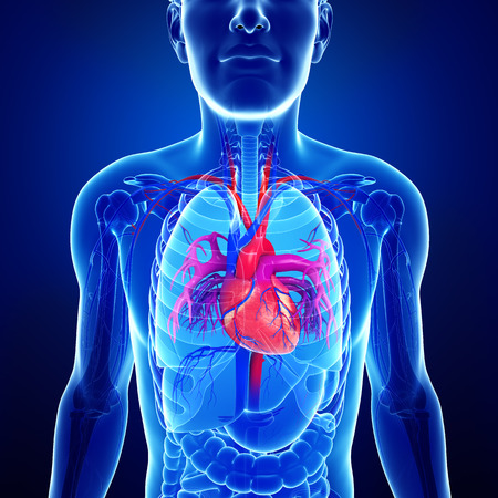 Illustration of Male heart anatomy