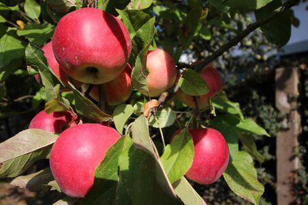 "Ã""pfel an einem Apfelbaum"