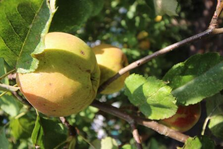"Ã""pfel an einem Apfelbaum im Herbst"