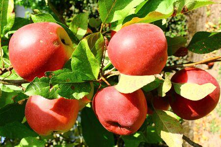 """Rote Ã""""pfel an einem Apfelbaum"""