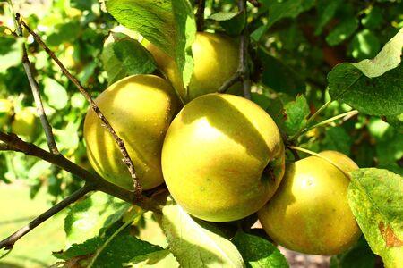 "Reife Ã""pfel an einem Apfelbaum"