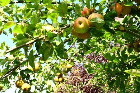 "Ã""pfel im Herbst an einem Apfelbaum"