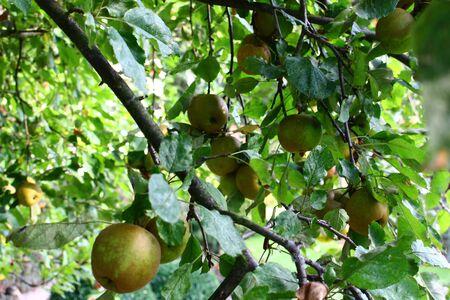 Apple on an apple tree
