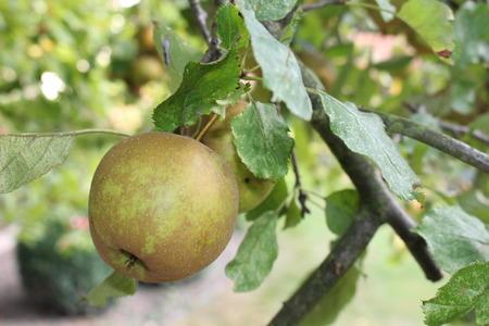 Harvest ripe apple on an apple tree