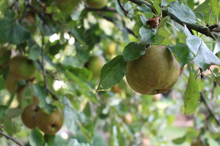 Apples on an apple tree in autumn