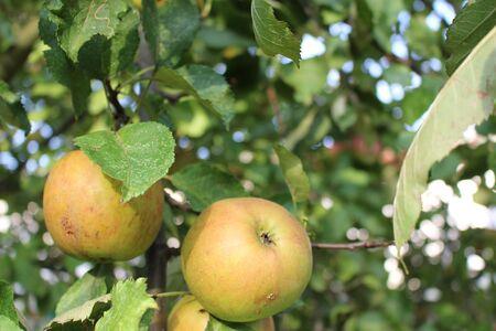 Ripe apples on an apple tree in autumn